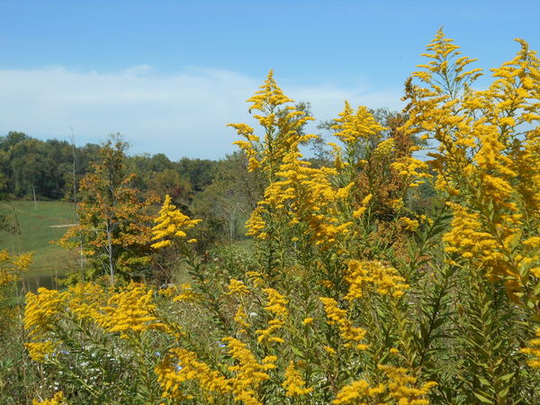 """A Sea of Golden Yellow"" -- Solidago Fireworks Goldenrod Wildflowers in Full Bloom Country Landscape Fireworks Goldenrod Goldenrod Flower Happy Yellow Month Of September North American Native Wildflowers Ohio, USA Paint The Town Yellow Smithfield, OH Solidago Fireworks Goldenrod Susan A. Case Sabir Unretouched Photography A Sea Of Golden Yellow Beauty In Nature Beginning Of Autumn Counryside Farming Region Goldenrod In Full Bloom Out In The Field Rural Scene Small Village Solidago Yellow Yellow Color"