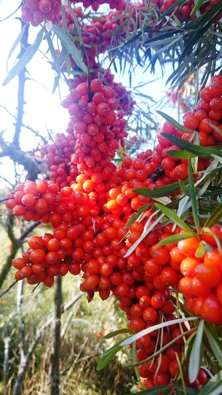 red, food and drink, fruit, food, growth, tree, outdoors, day, rowanberry, no people, nature, beauty in nature, freshness, healthy eating, bunch, green color, close-up, branch