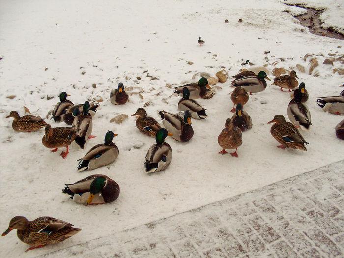 Ducks sitting