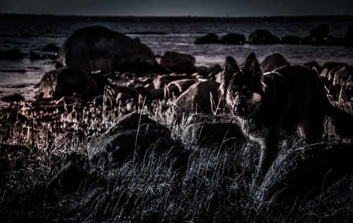 Black And White Friday GSD German Shepherd Long Hair Domestic Animals Animal Themes Sea Nature Mammal Grass Outdoors Beach No People Water Horizon Over Water Day Beauty In Nature Pets Scenics Sky