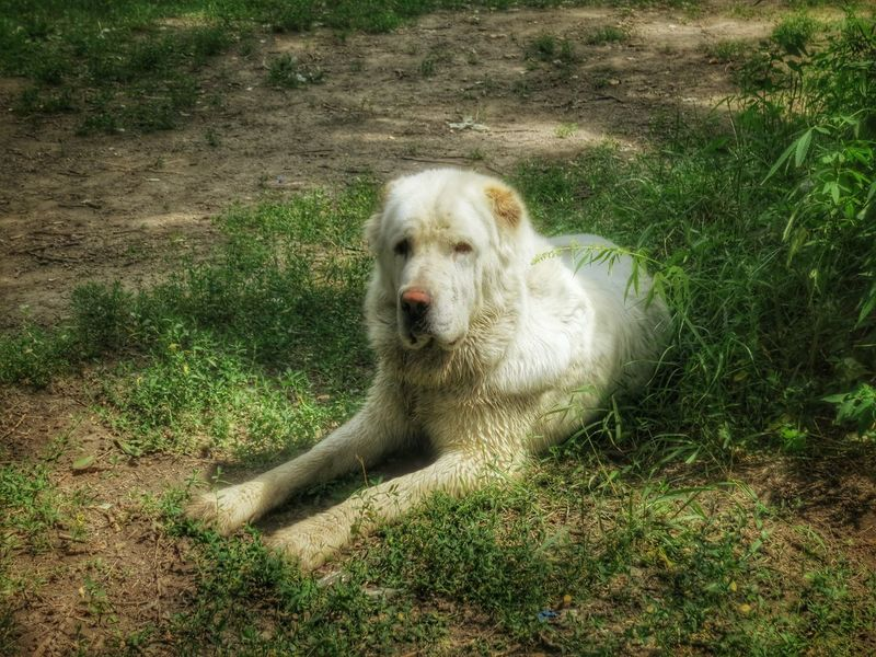 I Love My Dog Summer2016 Talking Photos Animals From Russia With Love In The Forest World Photography Day Beauty Beautiful ♥ Alabai