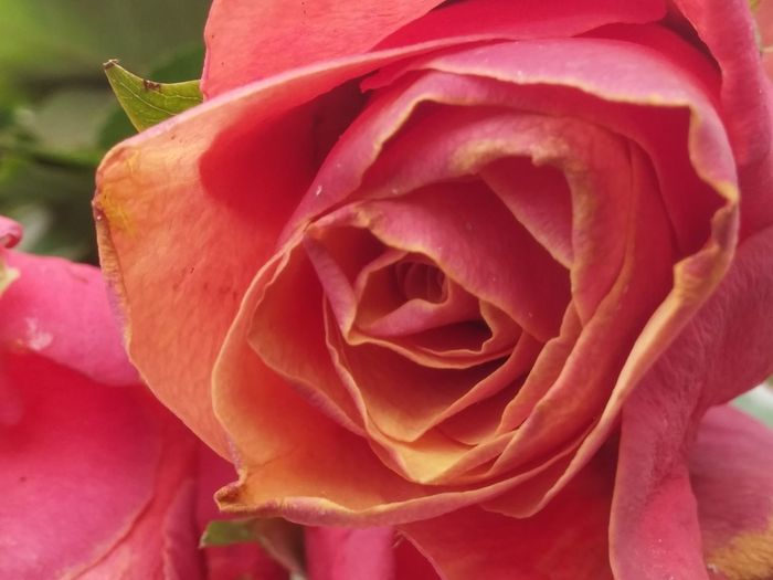 https://youtu.be/yj5CCOzJ7nk🌹 Flower Petal Nature Beauty In Nature Flower Head Rose - Flower Fragility Pink Color Plant Blossom Botany Close-up Growth Freshness Outdoors No People Rose Petals Winter Rose Good Morning Red Textured  Blooming Green Color Images From New Zealand No Edit, No Filter, Just Photography