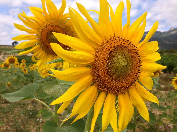 Sunflower Flowers Flowering Plant Nature Non Urban Scene Crop  Field Agriculture Sunflower EyeEm Flower Rural Scene Countryside Mellow Yellow Flower Blossom Yellow EyeEmNewHere Flower Head No People Plant Landscape Beauty In Nature Petal Inflorescence Plant Flowering Plant