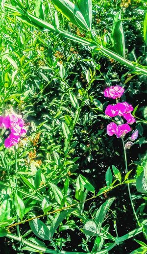 Sweetpeas Purple And Green Enjoying Life Taking Photos Pretty♡ Picking Flowers  Flowers Relaxing Spring Pure Beauty♡♥♡ At The Park Nature On My Walk Today Heavenly The Great Outdoors - 2016 EyeEm Awards Popular Photos Peaceful I TookThis Picture!!! IloveIT ♡ Colors Of Nature Garden Art Art Other Side Of Me The OO Mission My Life