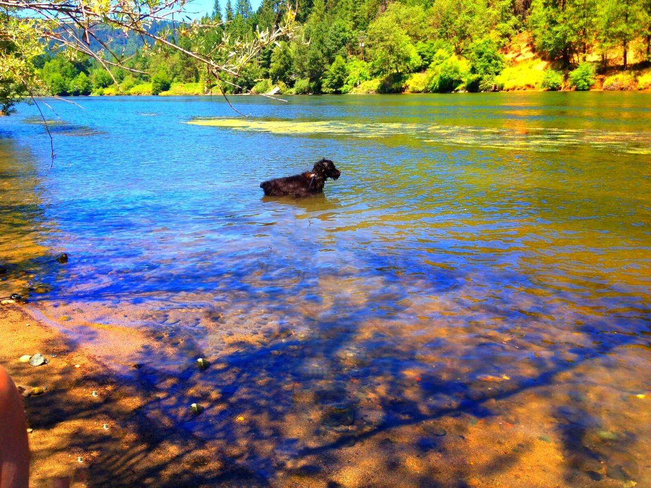 one animal, water, lake, animal themes, dog, mammal, day, nature, outdoors, pets, no people, tree, domestic animals, animals in the wild, swimming, bird