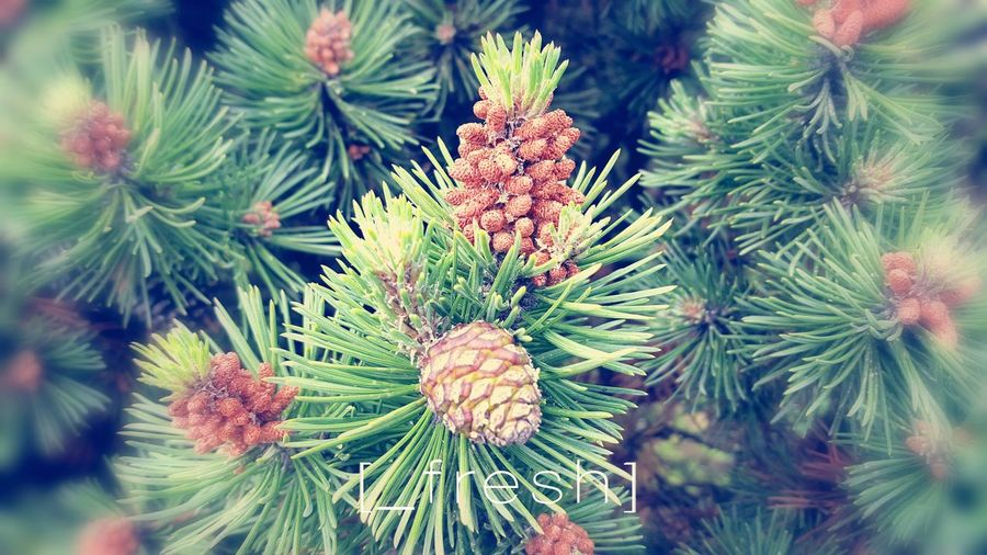 Green Color Pine Tree Nature Pinaceae No People Close-up Beauty In Nature Growth Plant Needle Outdoors Freshness Fresh