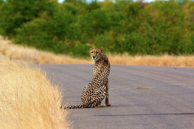 Cheetah sitting on road