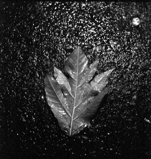 A leaf after the rain After The Rain EyeEm EyeEm Best Shots EyeEmNewHere Film Close-up Film Photography Leaf Night Roleiflex Streetphotography EyeEmNewHere