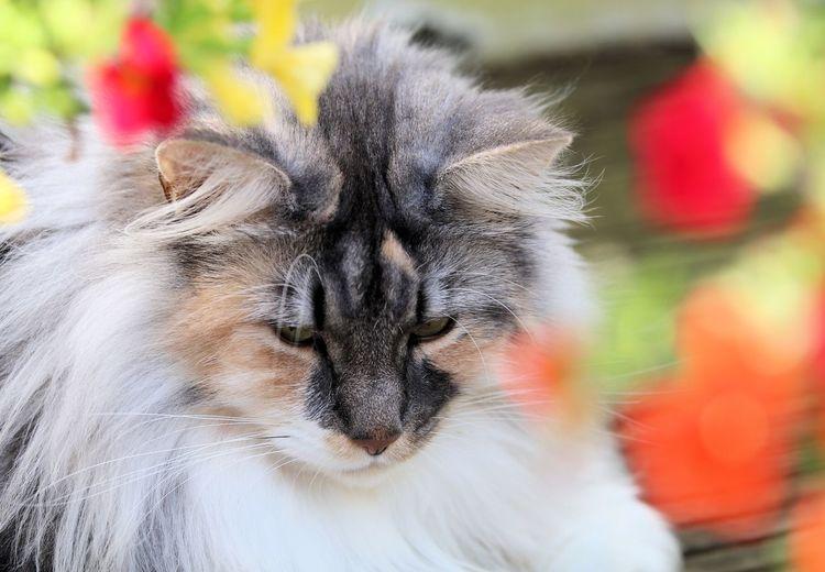 Fenja One Animal Close-up Animal Head  Domestic Cat No People Multi Colored Cat