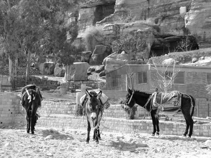 Wondering around the beauty of Petra, I found myself curious by three donkeys: they are next to each other but on their own world at the same time... just like many of us. Horse Domestic Animals Outdoors World Heritage Nomad EyeEm Wanderlust EyeEm Best Shots EyeEmNewHere Eye4photography  Streetphotography Travel Photography People Of EyeEm Travelnomad Travel EyeEmBestPics Canonphotography Petra Jordan Beduines Nomadiclife Amman Sand Dune Black And White Friday
