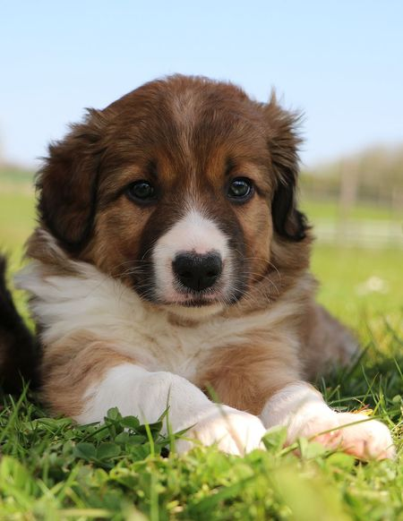 brown border collie puppy is lying in the garden Baby Border Collie Negan Animal Themes Bordercollie  Close-up Day Dog Domestic Animals Grass Looking At Camera Mammal Nature No People One Animal Outdoors Park Pets Portrait Puppy Shaddow