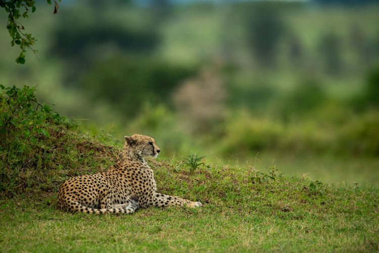 Cheetah lies by grassy bank in profile