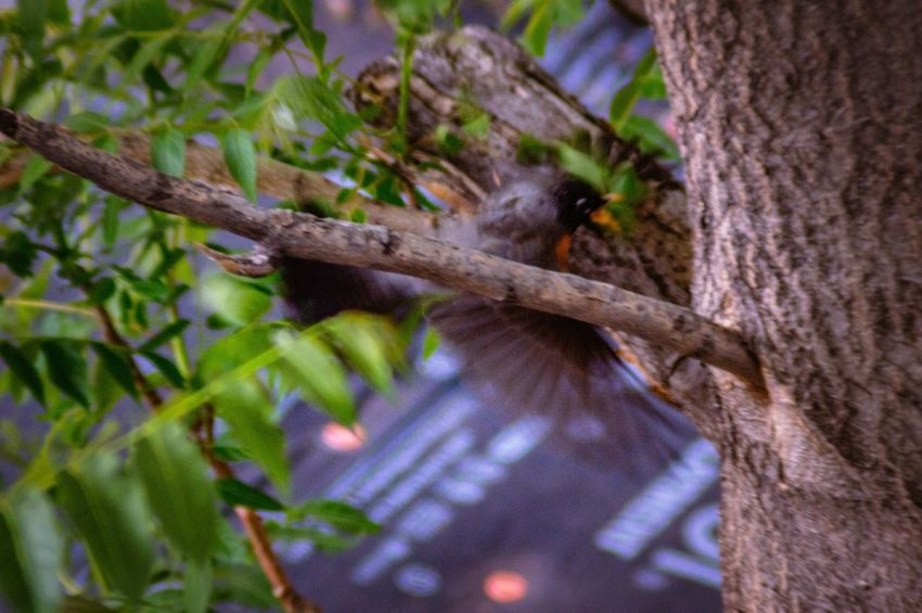 A bird mid-flight fighting off another unseen bird Bird Flying Bird Mid Flight Bird Fight Bird Watching Plant Tree Animals In The Wild Animal Wildlife Animal Themes Tree Trunk Trunk Nature Growth Animal One Animal Branch Low Angle View Focus On Foreground Selective Focus