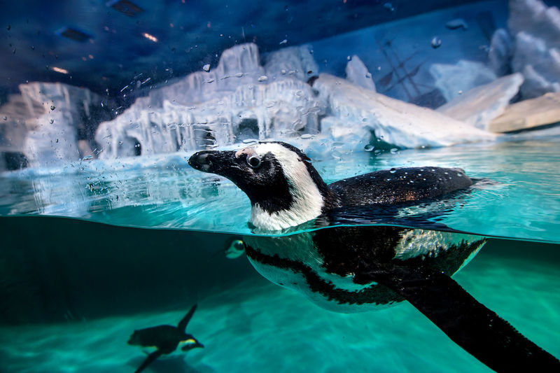 Close-up of penguins swimming in fish tank at aquarium