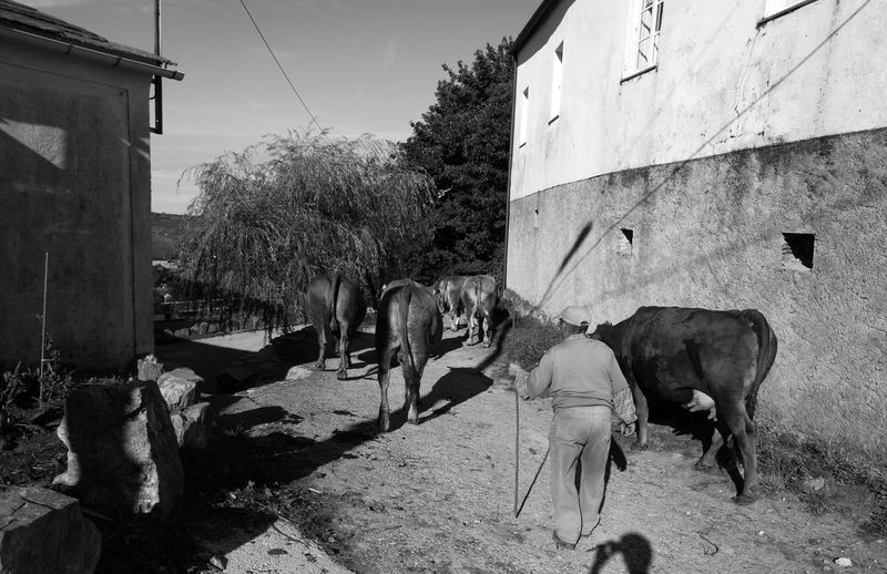 Cattle Cows Farmer HuaweiP9 HuaweiP9plus Monochrome Monochrome Photography Oo People