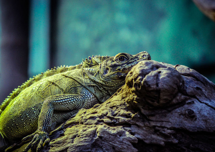 Animal Themes Animal Wildlife Animals In The Wild Close-up Day Iguana Lizard Nature No People One Animal Outdoors Reptile