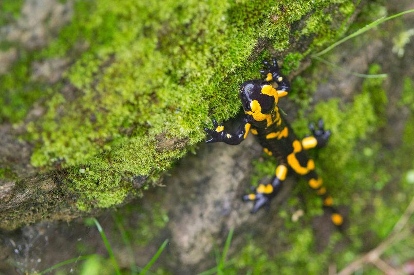 Beauty In Nature Green Color Growth Nature Close-up Outdoors Salamandra Salamander Firesalamander