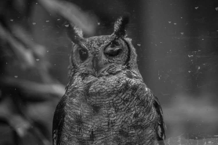 One Animal Animal Wildlife Animals In The Wild Vertebrate Focus On Foreground Portrait Close-up Looking No People Bird Front View Day Winter Snow Bird Of Prey Nature Snowing Animal Eye Owl Owl Eyes Owl Photography Wildlife Wildlife & Nature Wildlife Photography