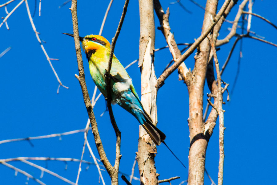Gazisonit Austraila Animal Themes Animal Wildlife Animals In The Wild Bare Tree Beauty In Nature Beeeater Bird Blue Branch Clear Sky Close-up Day Low Angle View Nature No People One Animal Outdoors Perching Sky Tree