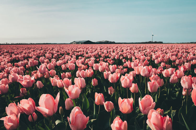 Pink tulip field. Beauty In Nature Plant Sky Flower Flowering Plant Land Growth Field Nature Freshness Landscape No People Environment Day Pink Color Tulip Flower Head Outdoors Flowerbed Springtime Netherlands Farm Agriculture Easter Retro