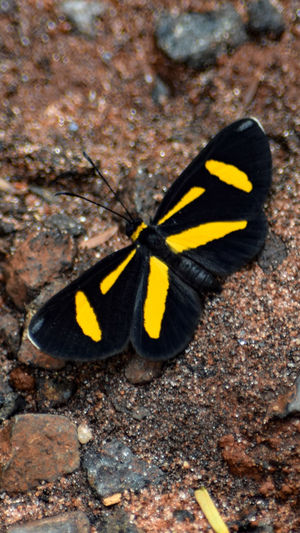 Yellow One Animal Black Color Animal Themes Nature Animals In The Wild No People Outdoors Animal Wildlife Close-up Beauty In Nature Insect Day Fragility Popular Photos Hello World Butterflies BORBOLETA Butterfly Collection Butterfly ❤ Simanovic Tvminuto Borboletas Popular Butterfly