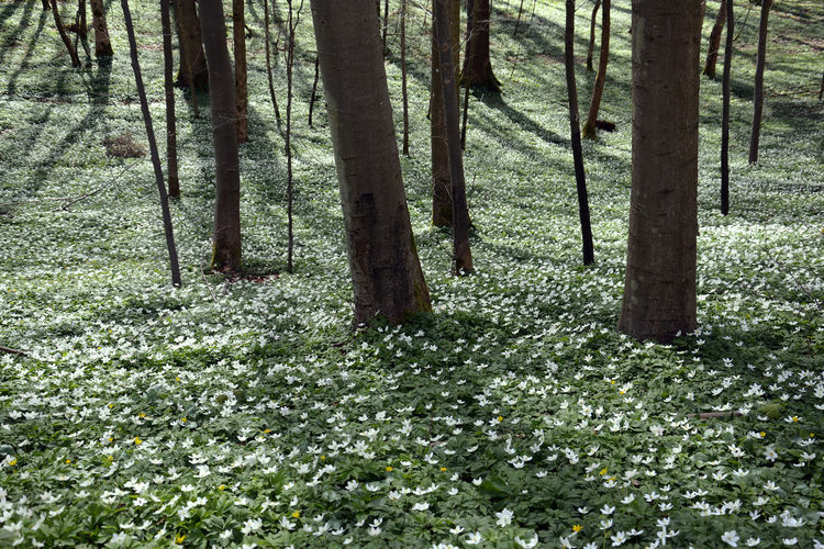 Carpet of white anemones on forest floor Anemone Beauty In Nature Day Forest Forest Floor Forest Photography Forestwalk Freshness Growth In The Woods Landscape_photography Landscape Nature No People Outdoors Peace And Quiet Plant Scenics Tranquility Tree Tree Trunk White Anemone White Flower Wood Anemone White Color The Great Outdoors - 2017 EyeEm Awards