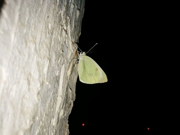 a butterfly resting near my kitchen window at night (huawei p9) Butterfly GreenYellow Yellowbutterfly Greenbutterfly Insect Arthropod Arthropoda Arthropods Sixlegs 6 Legs Flying Insect Flyinginsect Israel Summernight Summer Night Hotsummernight Hot Summer Night Wall Beautiful Beauty In Nature Nature Butterfly - Insect Perching Insect Leaf Animal Themes Close-up
