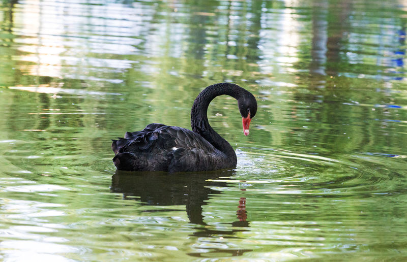 Amazing black swan on a lake Nature Elegant Tranquility Bird Black Black Swan On A Lake Black Swan On Water Feather  Relax Swan Symbol Wildlife