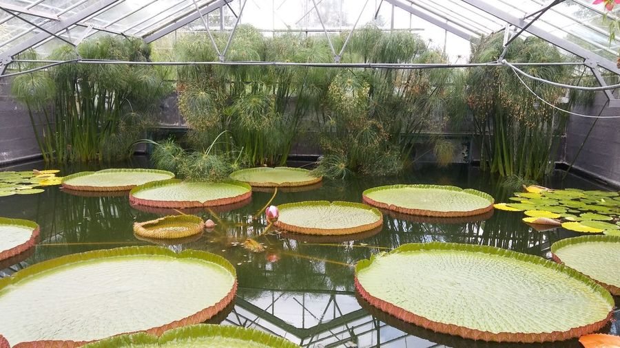 giant waterlily 3XSPUnity Day Giant Green Greenhouse Growth Indoors  Nature Nature No People Plant Tree Water Water Reflections Waterlily