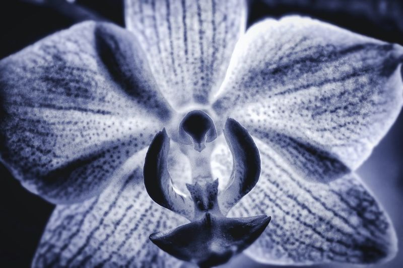 Flower Head Flower Flowerporn Flowers, Nature And Beauty Blackandwhite Falenopsis Orchid Orchid Blossoms Orchidea Perspectives On Nature