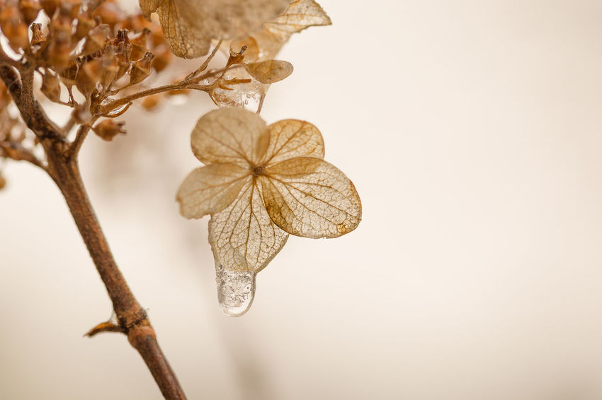freezing rain on hydrangea Freezing Rain Cold Ice Icicle Flower Head Flower Branch White Background Tree Summer Close-up Plant Wilted Plant Dead Plant Wilted Dry Decline Dried Plant