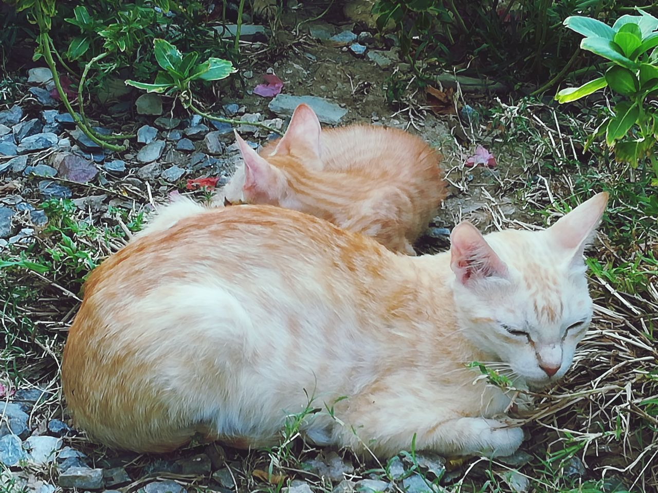 domestic, mammal, pets, domestic animals, cat, domestic cat, feline, animal, animal themes, vertebrate, field, relaxation, land, one animal, no people, nature, plant, resting, day, grass, outdoors, whisker, ginger cat