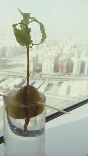 Just growing my own avocado plant 😃. Plants DIY Avocado Plant