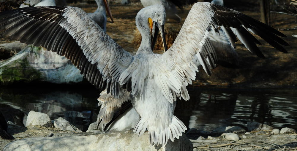 Animals In The Wild Bird Crane Nature No People Outdoors Spread Wings Water Wingspan
