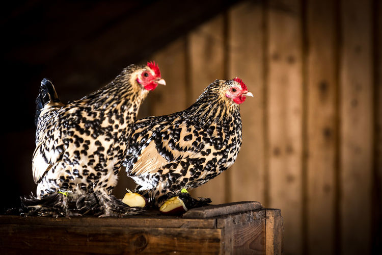 Booted bantam Booted Breed Breeder Breeding Chicken Chickens Feathers Porcelain  Poultry Poultry Farming Animal Animal Themes Bantam Beauty Bird Birds Booted Bantam Chabos Close-up Farming Feathered Bantam Hen Lemon Pet Racer