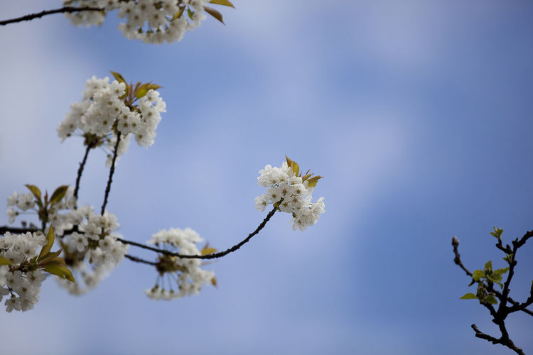 Low angle view of white flowers blooming on tree