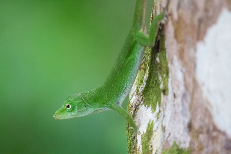 Animal Animal Body Part Animal Head  Animal Themes Animal Wildlife Animals In The Wild Close-up Day Focus On Foreground Gecko Green Color Lizard Nature No People One Animal Outdoors Plant Profile View Reptile Selective Focus Tree Vertebrate