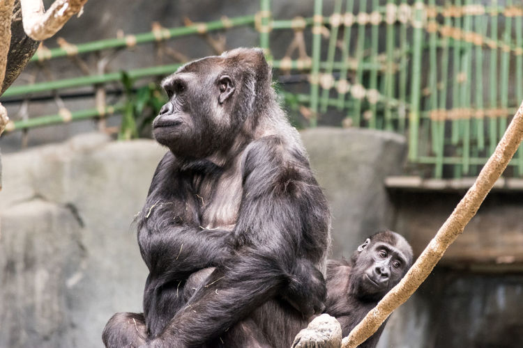 Gorilla with infant at brookfield zoo