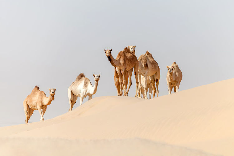 Group of middle eastern camels in the desert in uae