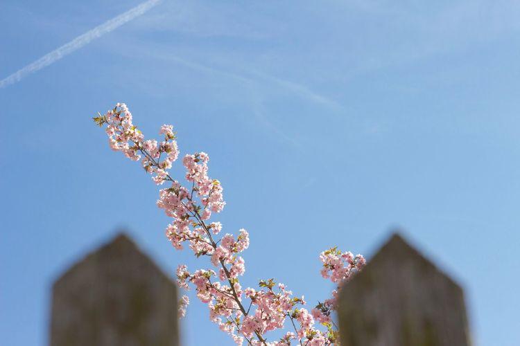 Pink Flowers Blooming Against Blue Sky