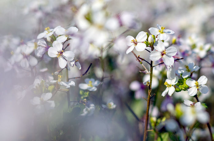 Beauty In Nature Blossom Cherry Blossom Close-up Day Flower Flower Head Flowering Plant Fragility Freshness Growth Inflorescence Nature No People Outdoors Petal Plant Purple Selective Focus Softness Springtime Tree Vulnerability  White Color A New Beginning