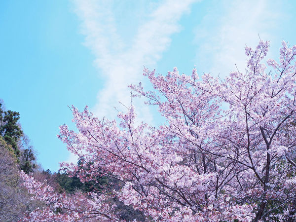 Cherry blossoms and blue skies beautifully blooming (綺麗に咲いている桜と青空) Ad Cherry Blossoms Copy Space Daytime Green Ikeda Nature Plant Red Black Color Blue Sky Brown Close-up Flower Full Bloom Landscape Margin No Person Nobody Pink Color Text Space White サクラ 池田市 青空