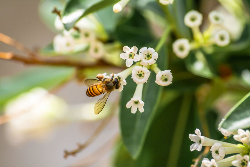 Worker bee try to find food from Day Cestrum flowers. Animal; Bees; Black; Close Up; Day Cestrum; Day; Environment; Flower;  Fly; Food; Fragrance; Fresh; Garden; Insect; Nature; Outdoors; Pollen; Shrub; Southeast Asia; Tropical; White; Wings; Yellow;