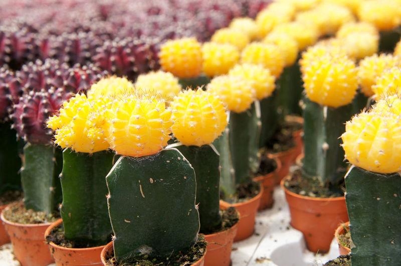 Close-up of yellow cactus flower pot