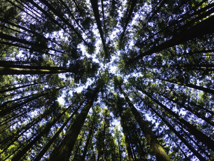 KOREA, JEJU, GoPro, saryeoni, forest Tree Forest Plant Beauty In Nature Low Angle View Nature Sky Full Frame Directly Below Tree Canopy  Land Tree Trunk Day No People Backgrounds WoodLand Trunk Tall - High Tranquility Growth Outdoors Bamboo - Plant Pine Woodland