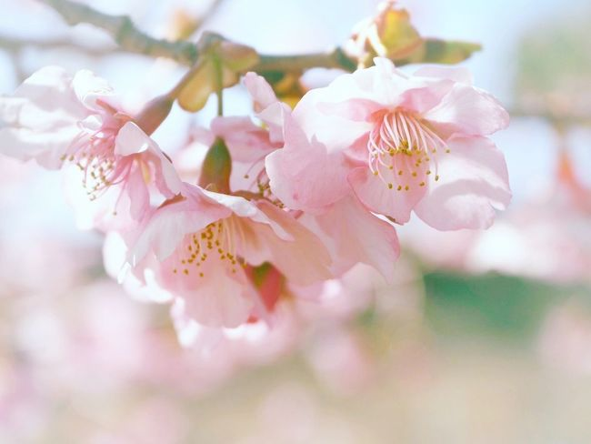 こんにちは3月🌸 Spring 河津桜 桜🌸 サクラ 日だまり Nature Beauty In Nature EyeEm Nature Lover Flower Blossom Flower Collection Pink Flower Taking Photos EyeEm Best Shots - Nature
