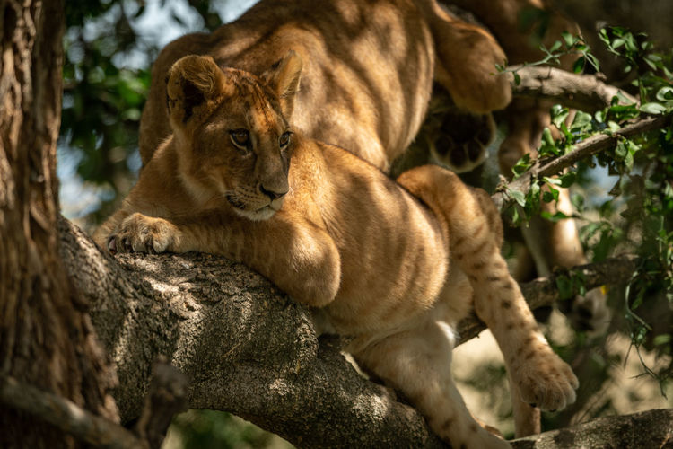 Lion cubs resting on tree trunk