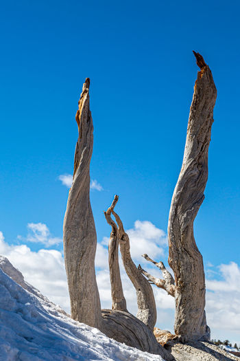 Looking up at dead tree trunks on a snowy hillside, at bryce canyon in utah