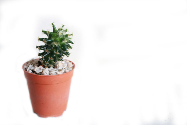 Cactus in a pot on white. Cactus In A Pot On White. Close-up Day Freshness Green Color Growth Leaf Nature No People Plant Potted Plant White Background
