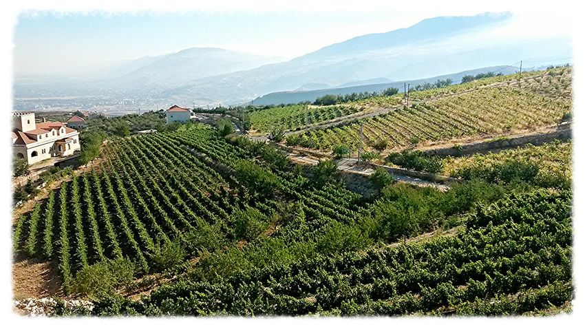 Vineyards  Bekaa Valley Lebanon